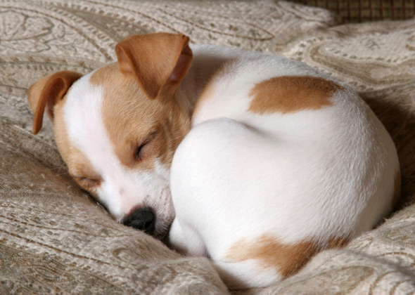dog-sleeping-curled-up-thinkstockphotos-92211517-590sm51215